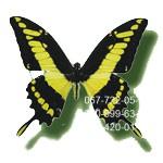 большая живая тропическая бабочка
