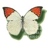 бабочка мелкая Белянка