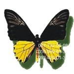 большая бабочка Птицекрылка Золотистая