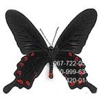 небольшая бабочка Черная Роза