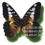 небольшая бабочка Тигр