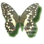бабочка Парусник Лимонный купить