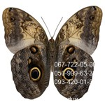 7-Большая живая бабочка Калиго