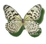 большая живая бабочка Зебра