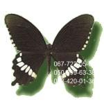 купить живую бабочку в Днепропетровске, Мормон Обыкновенный самец